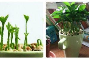 Como plantar limão para perfumar e decorar a casa